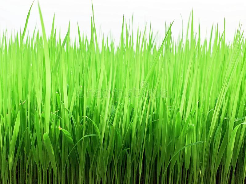 Rice field is so fresh, and help to relax royalty free stock images