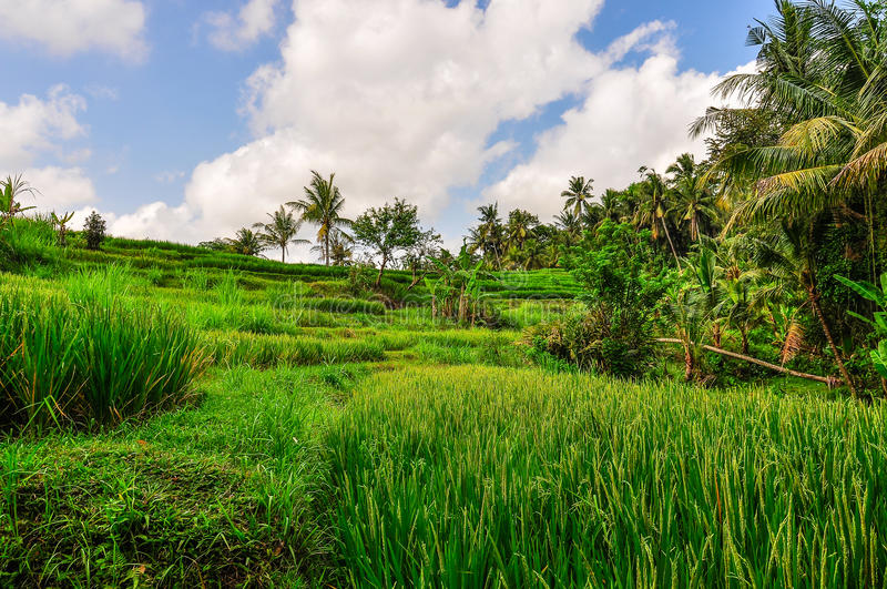 Rice field in Goa Gajah, Bali, Indonesia royalty free stock images