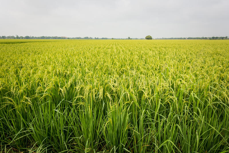 Rice field. royalty free stock image