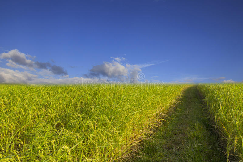 Rice field green grass blue sky cloud cloudy landscape background royalty free stock images