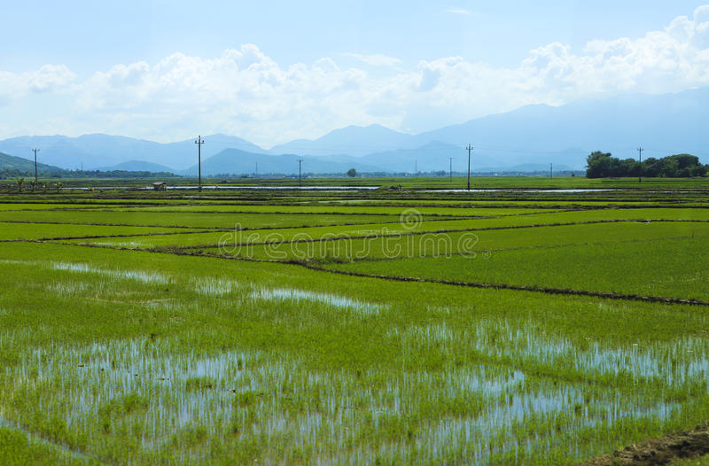Rice field green grass blue sky cloud cloudy landscape background royalty free stock photography