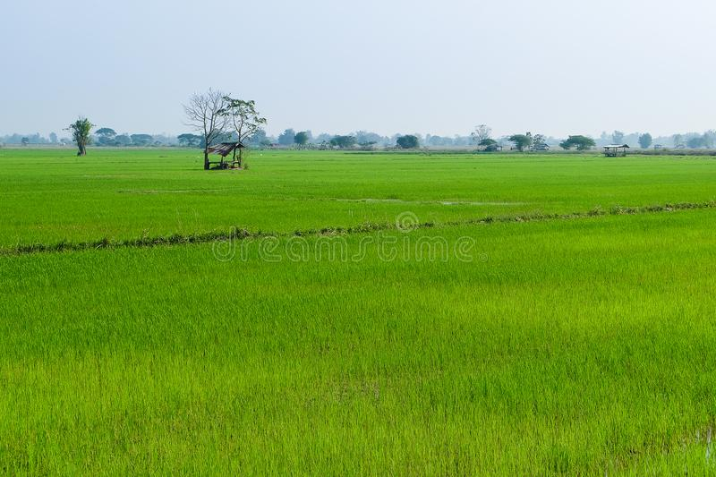 Rice field green grass blue sky cloud cloudy landscape background royalty free stock photos