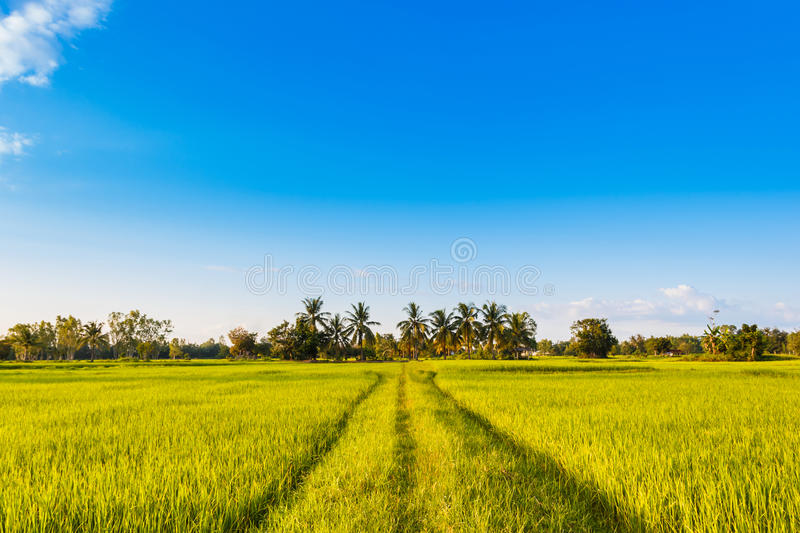 Rice field green grass with blue sky stock photos