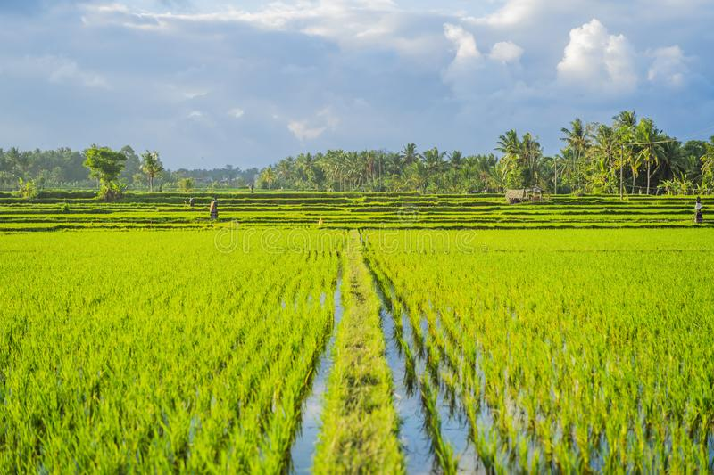 Rice field green grass blue sky cloud cloudy landscape background stock photography