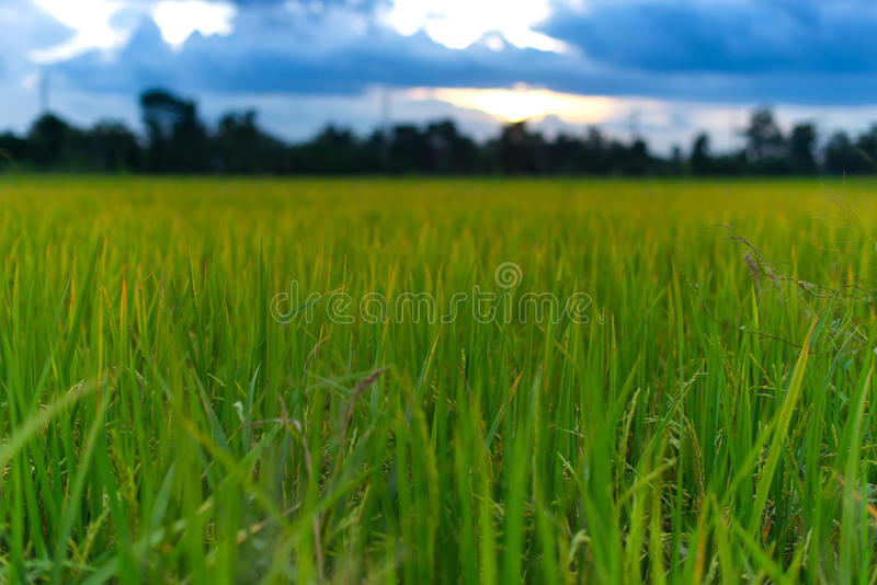 Rice field green grass blue sky cloud cloudy landscape background stock photos
