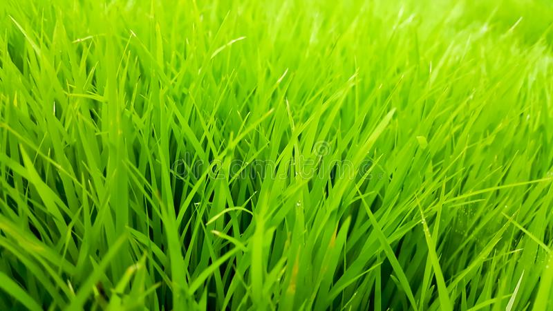 Rice field green grass and dew in the morning time and fresh air background, textures and wallpaper royalty free stock photos