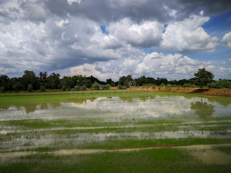 Rice field green grass field sky blue cloudy landscape background, green rice fields in Phichit, Thailand stock images