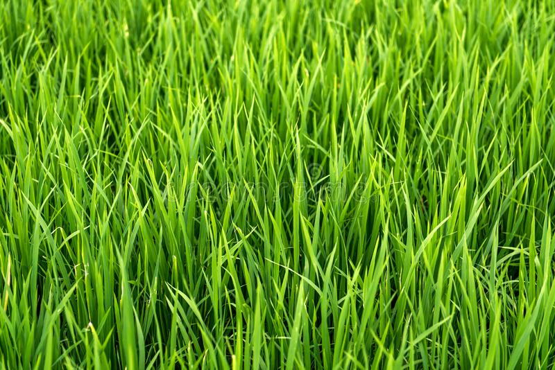 Rice on field. Green leaves. royalty free stock photography