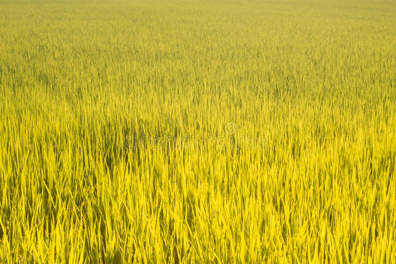 Rice field green yellow grass beautiful nature of living in Thailand agriculture business nice texture background royalty free stock image