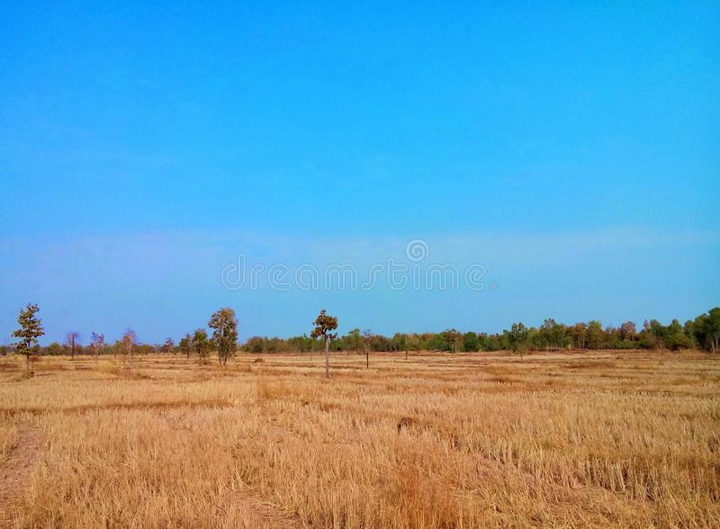 Rice field after harvest. stock photos