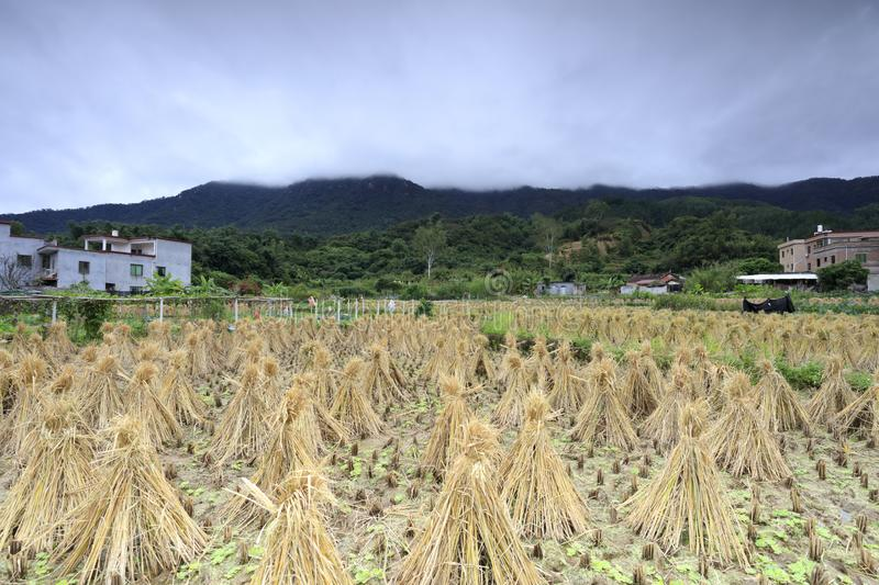 Rice field after harvest at the foot of the mountain, adobe rgb stock photos