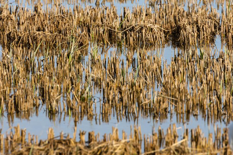 Rice field image in the natural park of Albufera, Valencia, Spain. Natural background texture stock images