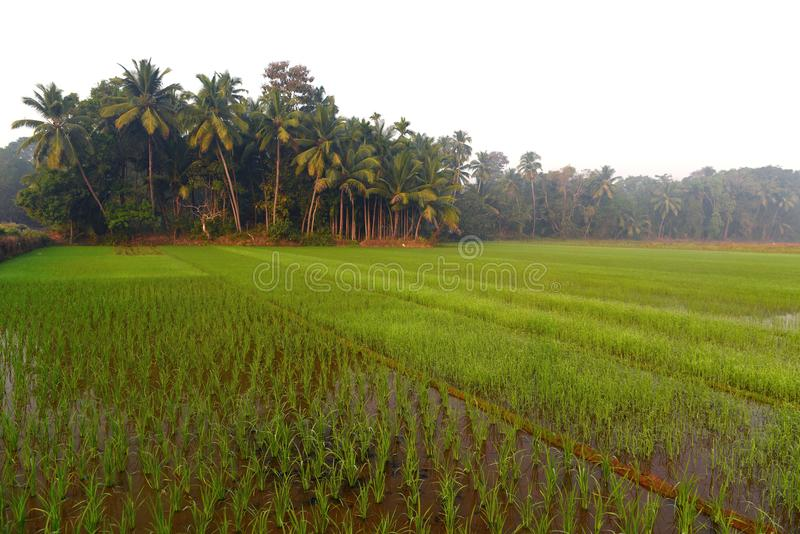 Rice field in India at morning. stock photography