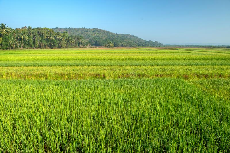 Rice field in India at morning. royalty free stock photography