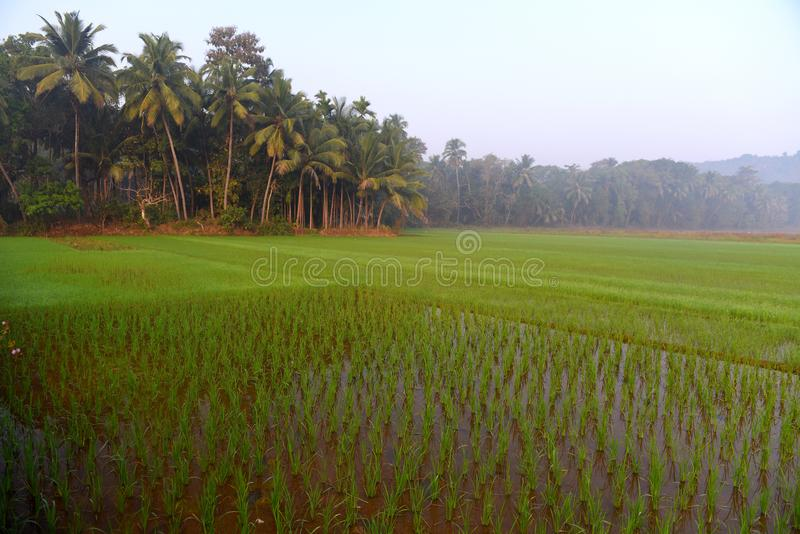 Rice field in India at morning. stock images