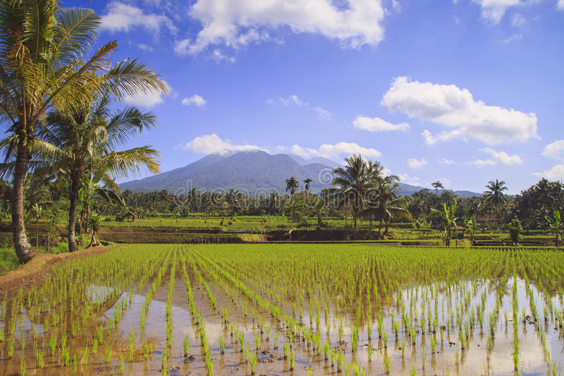 Rice field in Indonesia. Rice field in Galunggung Mountain, Tasikmalaya, Indonesia stock photography