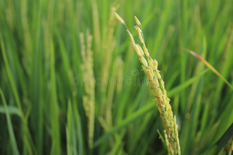 Rice Field. Indonesia. Rice is part of rice grains (grain) which has been separated from 'Sekam'. 'Sekam' (Java Straw) are anatomically called 'palea' (part stock images