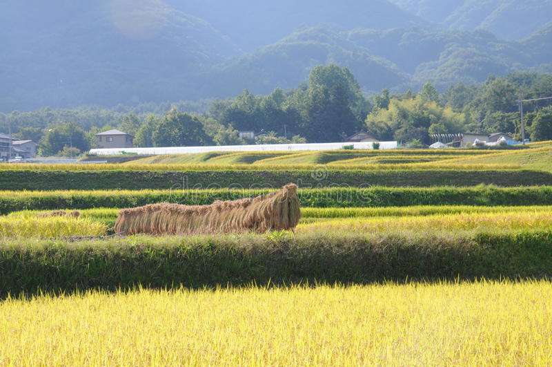 Rice field in Japan stock photos