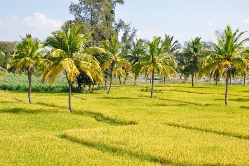 Download Rice Field In Karnataka (India) Stock Photo - Image: 22661844