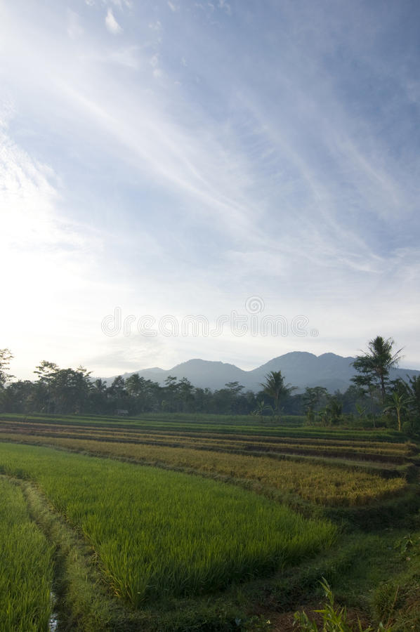 Rice field in the kendal's village royalty free stock photography