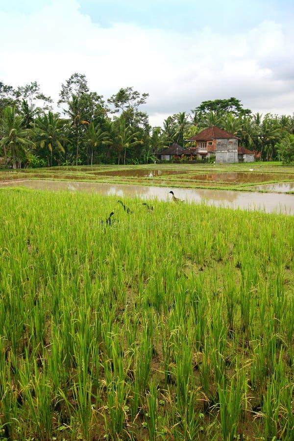 Rice field landscape with ducks, Bali scenic stock photo