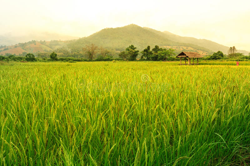 Rice field landscape with a hut inside and mountain on background. royalty free stock images