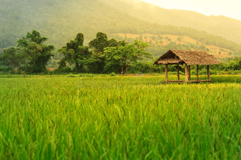 Rice field landscape with a hut inside and mountain on background. royalty free stock photography