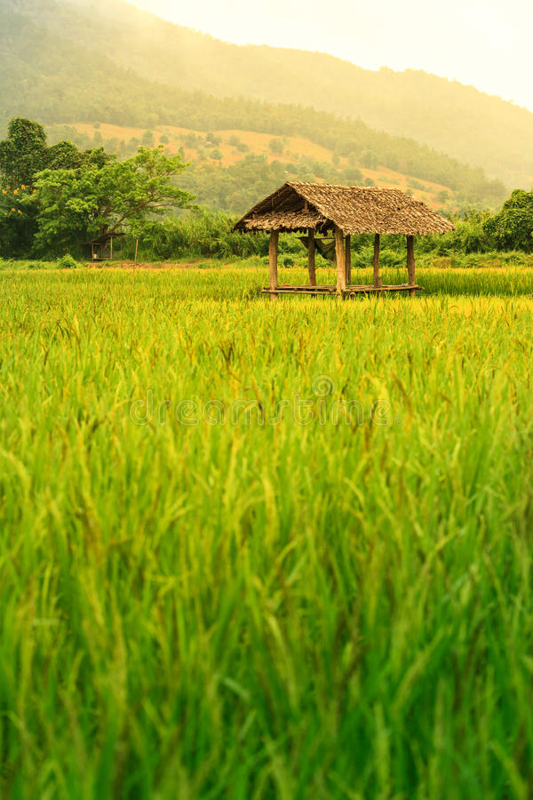 Rice field landscape with a hut inside and mountain on background. stock image