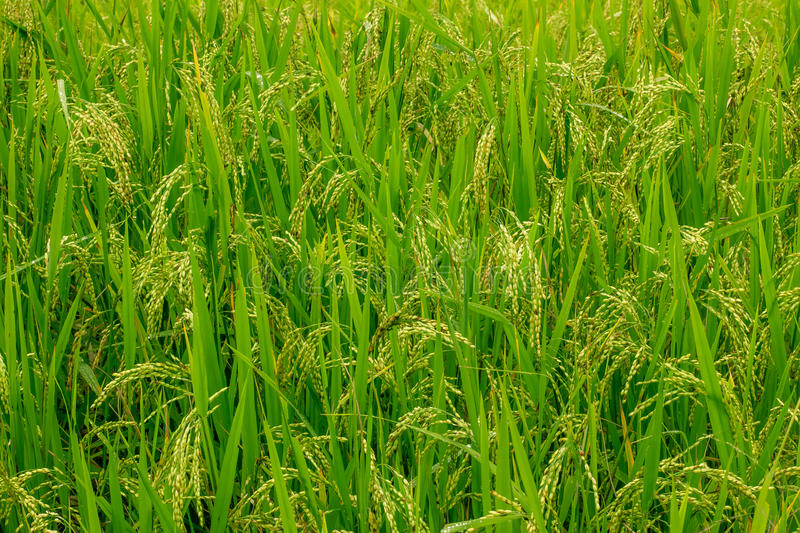 Rice field landscape. royalty free stock images