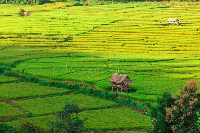 Rice field landscape with small huts. royalty free stock photo