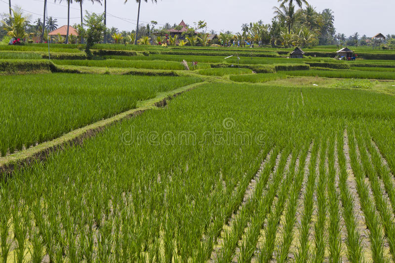 Download Rice Field Editorial Stock Image - Image: 32373484