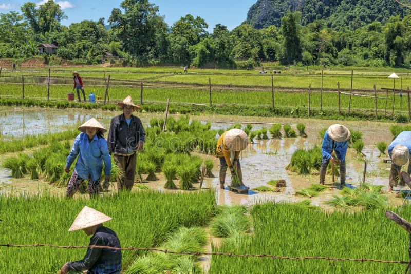 Rice field in Laos stock image