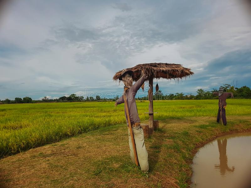 Rice green field and small cabana,scarecrow with sky and cloud bac. Rice field and light in green background with cabana,scarecrow and bird`s nest royalty free stock image