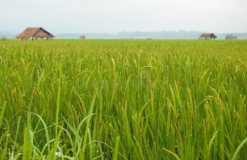 Rice Field in Luang Namtha stock photo