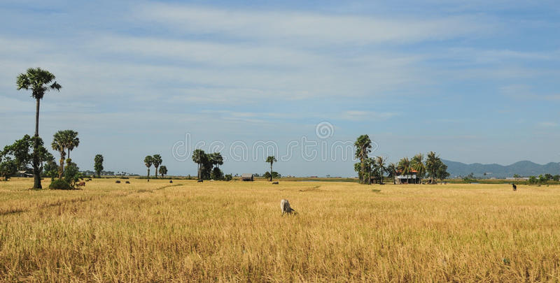 Rice field with many palm trees at Hong Ngu town in Dongthap, Vietnam.  royalty free stock photography