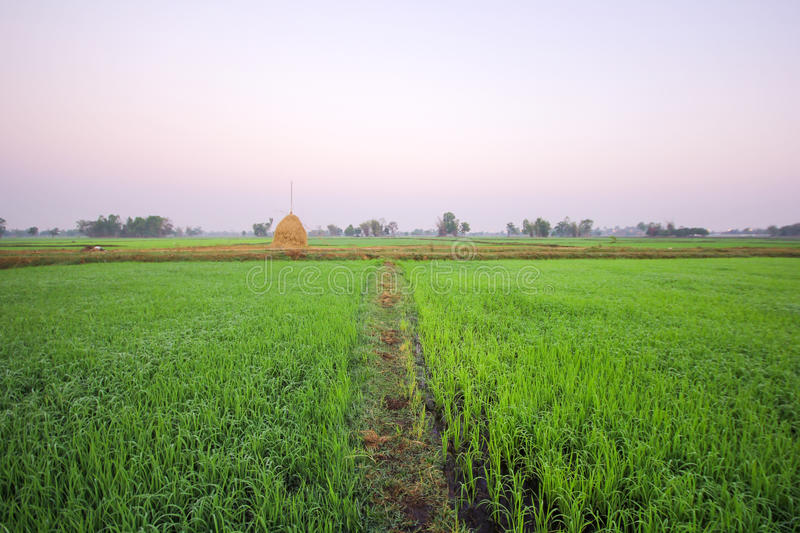 Rice field in the morning, Roi-ed Thailand. Rice field in the morning with fog, Roi-ed Thailand royalty free stock photography