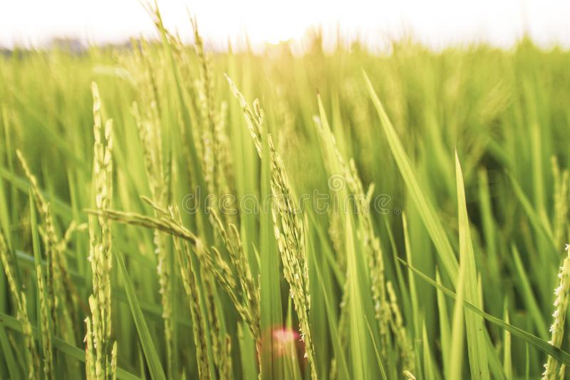 Rice field in the morning. Wheat close up. Beautiful Nature Sunset Landscape. Rural Scenery under Shining Sunlight royalty free stock photos
