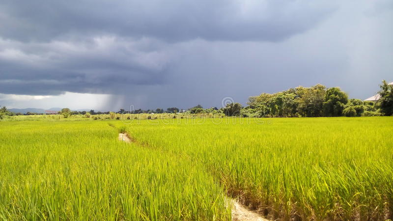 Rice field near the house stock photos