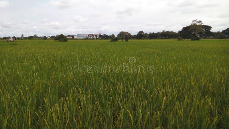 Rice field near the house stock photography