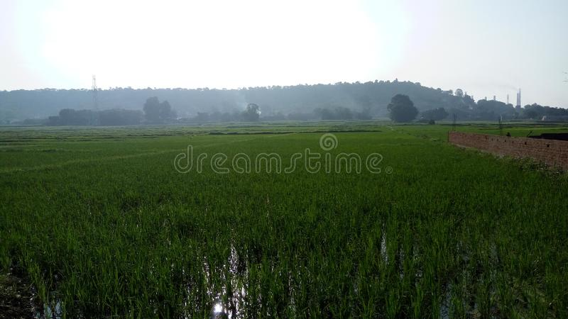 Rice field near industrial area. royalty free stock photo