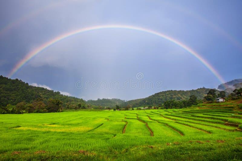 Rice field over rainbow stock photo