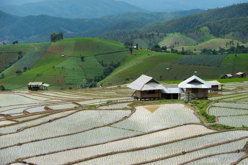 Rice field at Pa Bong Piang village in Mae Cham , Chiangmai, Thailand. royalty free illustration