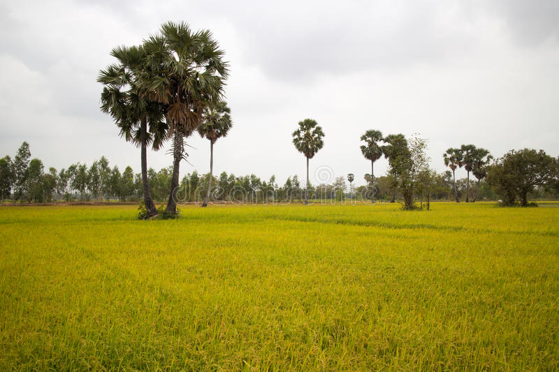 Download Rice Field And Palm Trees In Cambodia Asia Stock Image - Image: 91411353