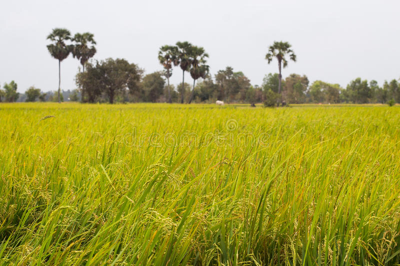 Download Rice Field And Palm Trees In Cambodia Asia Stock Photo - Image: 91411292