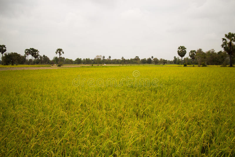 Download Rice Field And Palm Trees In Cambodia Asia Stock Image - Image: 91411337