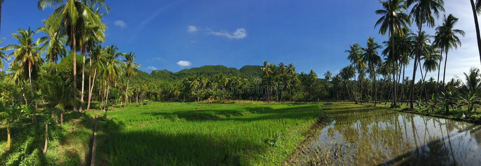 Rice field with palmtrees reflection Panorama royalty free stock photos
