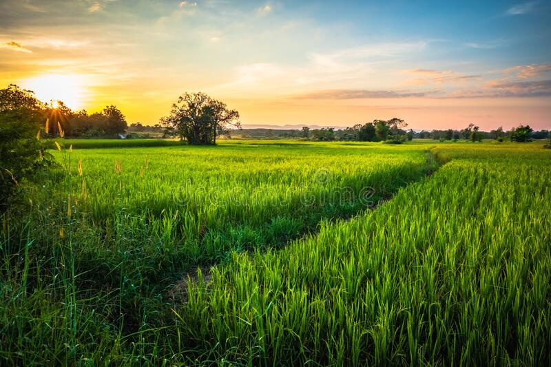 Rice Field at Phitsanulok, Thailand. Green rice field before sunset in countryside, Nakhon Thai district, Phitsanulok, Thailand stock images
