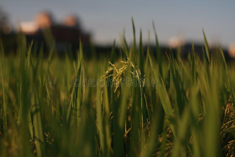 Rice Field Photo Free Public Domain Cc0 Image