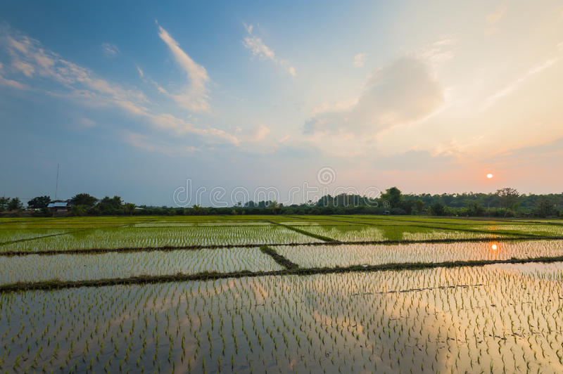 Download Rice Field With Reflection At Twilight Time Stock Images - Image: 23767514
