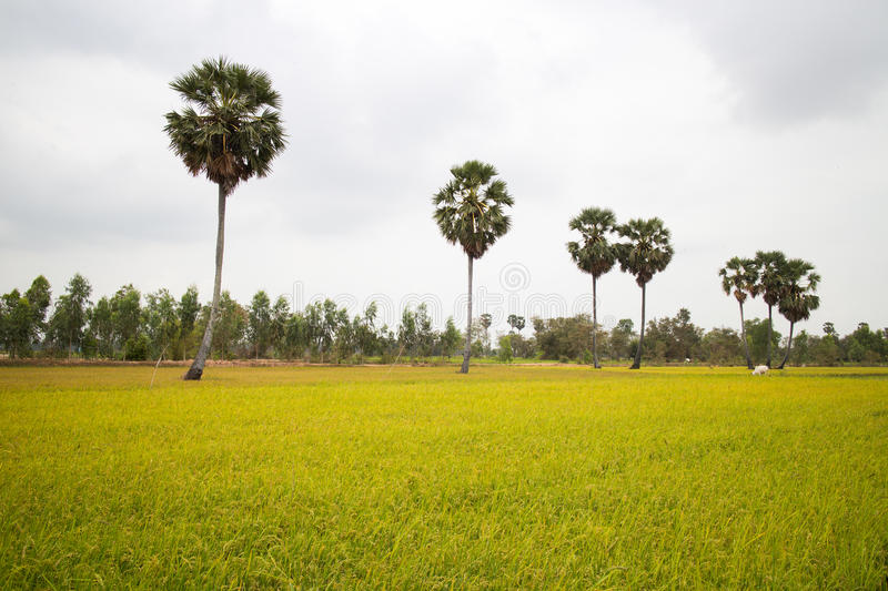 Download Rice Field And A Row Of Palm Trees In Cambodia Asia Stock Photo - Image: 91411336